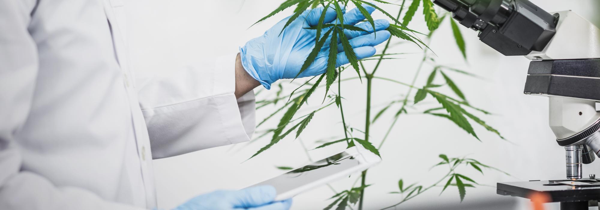 Cannabis terapeutica uno studio nella regione Veneto